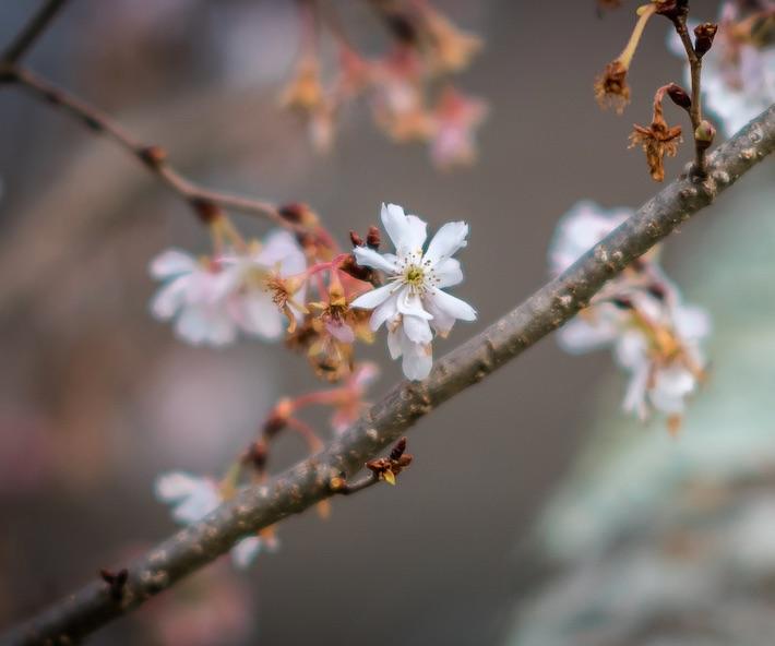 cherry blosum